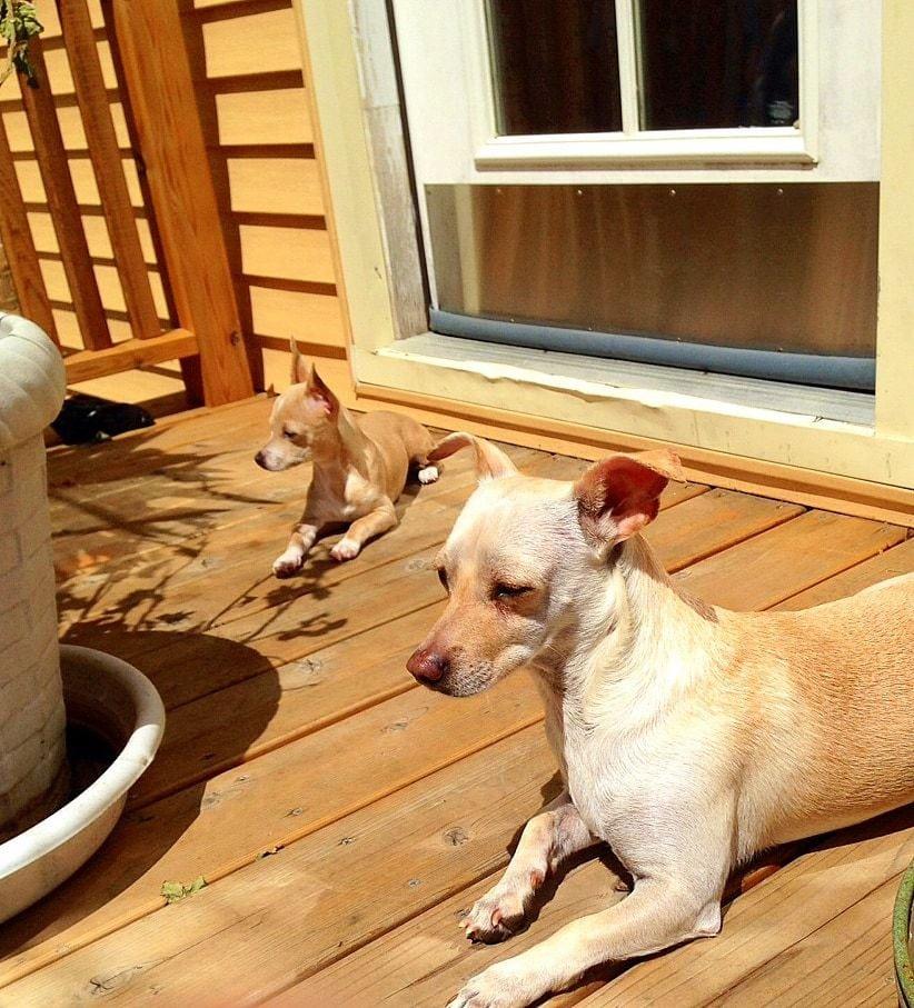 Chuy and Taz love to sunbathe!